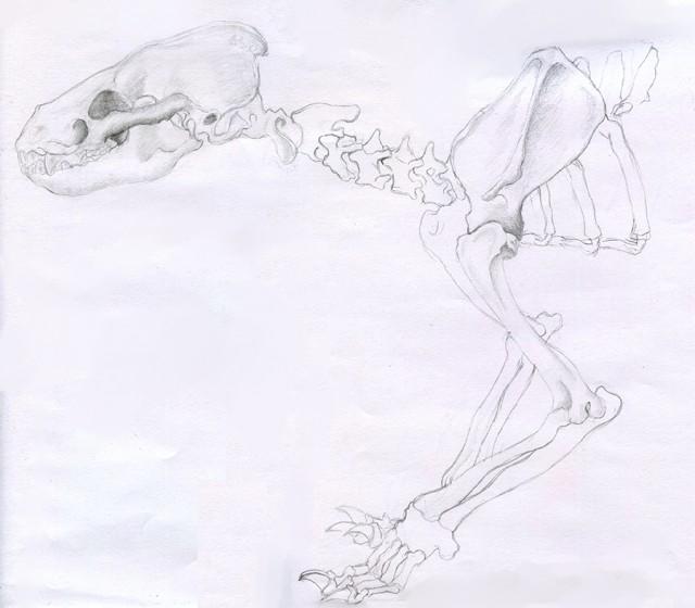 Squelette blaireau
