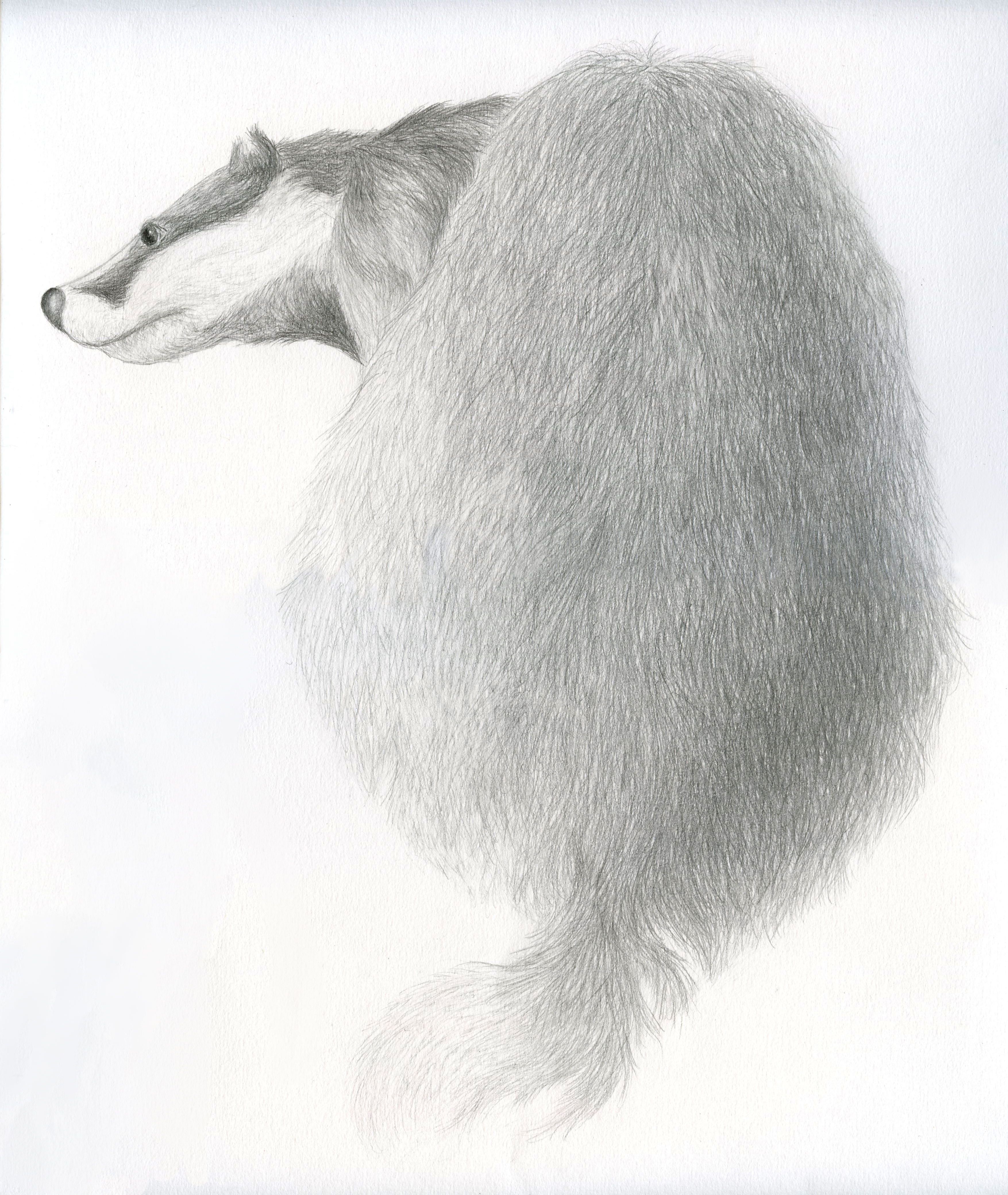 Dessin crayon gris du blaireau