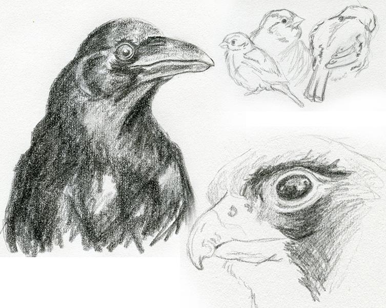 Croquis crayon oiseaux